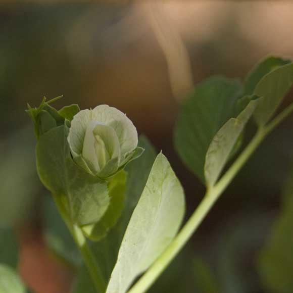 Cascadia snap pea blossom