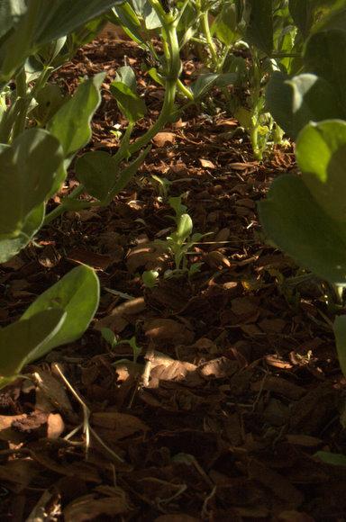 Lettuce among the favas