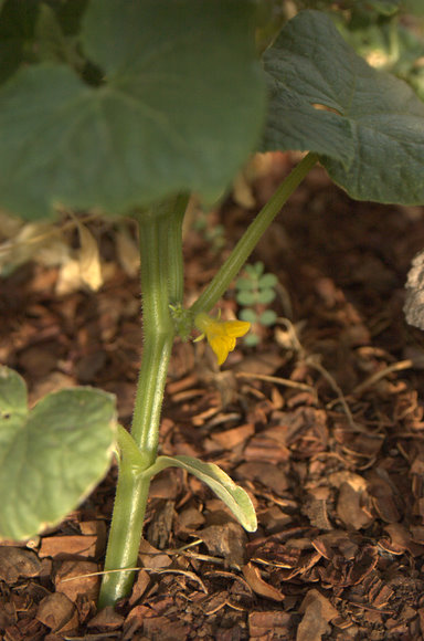 Male Cucumber Flower