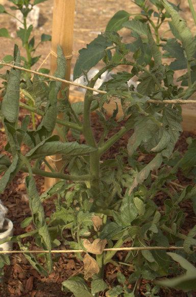 Sick Tomato Plant