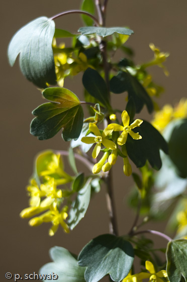 Golden currant blooming