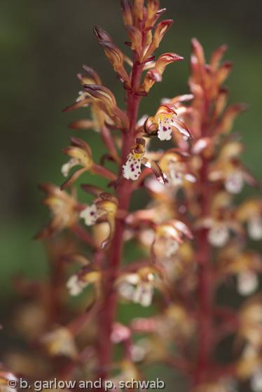 Corallorhiza maculata variety maculata
